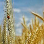 cereales-sin-gluten-maiz-esgir