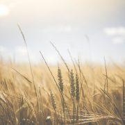 Cereales sin trigo